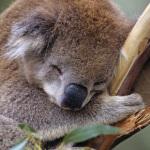 Le mammifère qui dort le plus au monde est le koala !